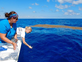 Students collecting sargassum seaweed