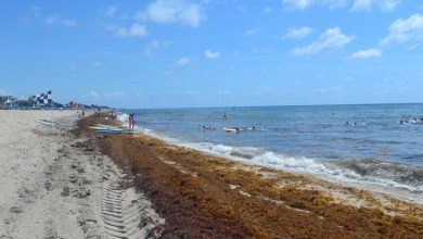 Seaweed in Delray Beach (David Fleshler/Sun Sentinel)