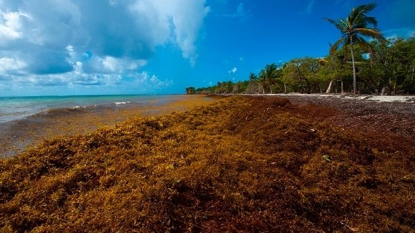 A picture taken in April shows sargassum seaweed on the French Caribbean Island of Guadeloupe. Helene Valenzuela /AFP/Getty Images