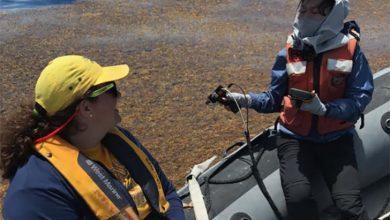 Mengqiu Wang, postdoctoral researcher, takes seaweed measurements in the Gulf of Mexico