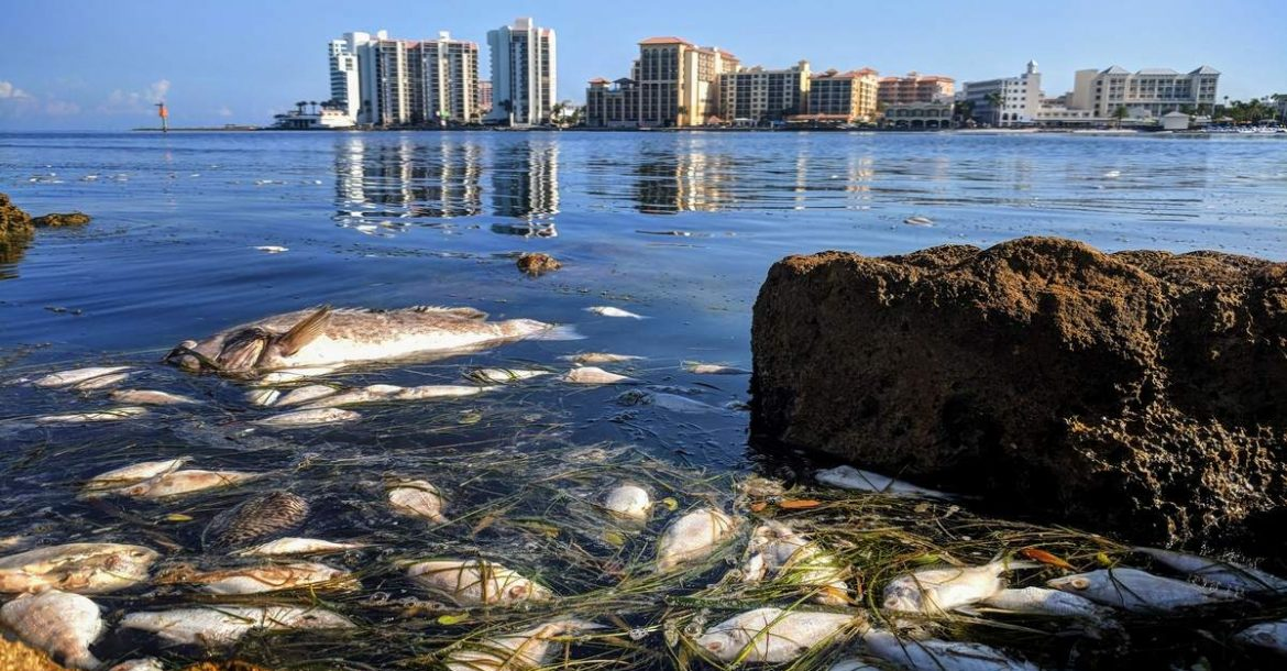 A slurry fo dead fish, the result of Red Tide, moves out of Clearwater Harbor on the north side of Sand Key Park on Thursday (9/20/18) as Pinellas County continues to monitor the bloom at a number of beaches right now, including Madeira Beach, St. Pete Beach, and Indian Shores. A Red Tide Advisory remains in effect at Sand Key Park, which has suspended parking fees. For weeks, the city of Clearwater has become the place of respite from the bloom for people on southern beaches experiencing red tide, as the bloom had not been detected. But the tide has changed in recent days after dead fish began washing onto the beach over the weekend, and spilling into the Intracoastal Waterway. The naturally occurring phenomenon and has been documented along Florida's Gulf Coast since the 1840s, and its foul odor can cause respiratory irritation. Photo Credit: Douglas R. Clifford