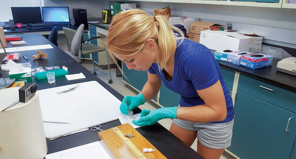 University of South Florida graduate student Meaghan Faletti carefully dissects the information-rich eye lens from a pinfish. Photo Credit: Meaghan Faletti