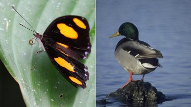 Data to assess distributions and trends varies vastly among species. Many tropical butterflies (left) may only have a few records, while bird species (right) in North America or Europe may be documented with millions of records annually. Photo Credit: Walter Jetz/Yale University