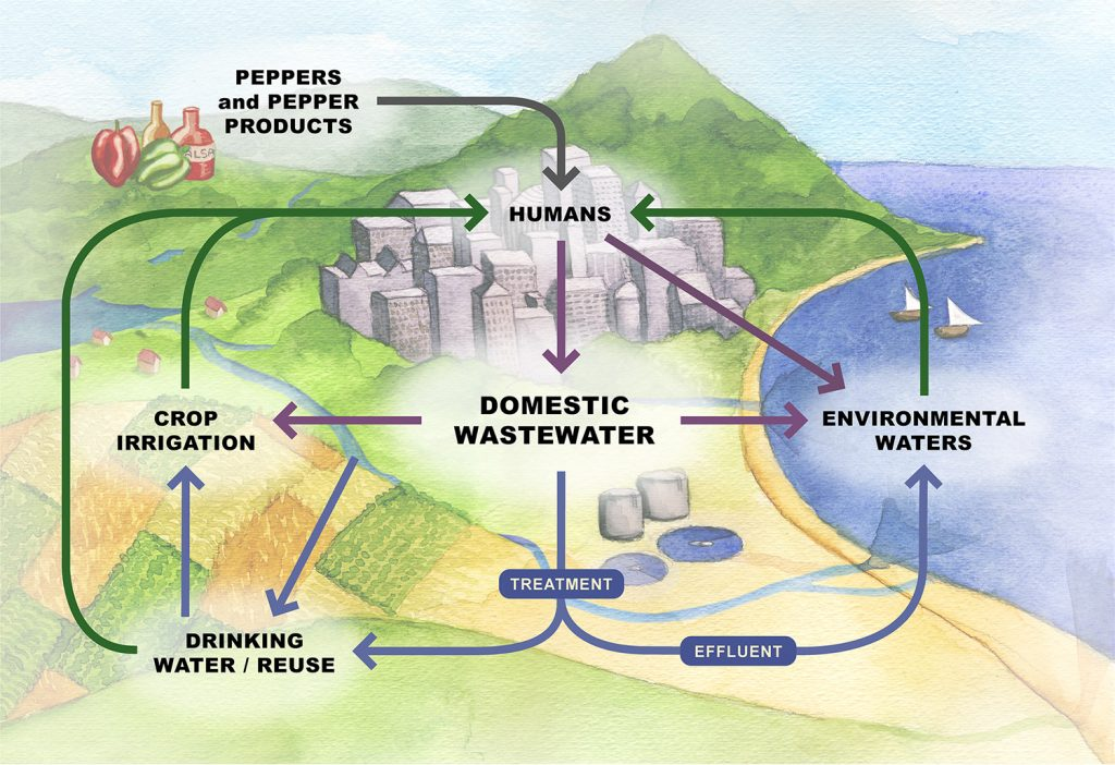 A schematic of the lifecycle of the pepper virus (PPMoV) found in human feces that could transform the way communities monitor water quality. Artwork by Anne Martin.