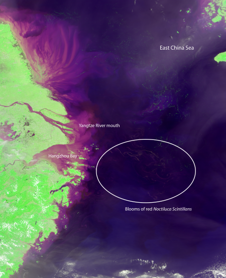 A satellite image of the East China Sea, taken by NASA's MODIS instrument, showing blooms of red Noctiluca scintillans east of Hangzhou Bay. Credit: NASA/University of South Florida optical oceanography lab.