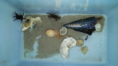 New moms. All the little specs on the bottom right of the photo are zoea (crab larvae). Photo by: Makenzie Burrows