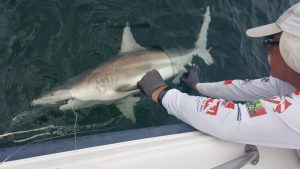 Glenn Parsons examining a blacktip shark. Photo credit: Parsons' lab