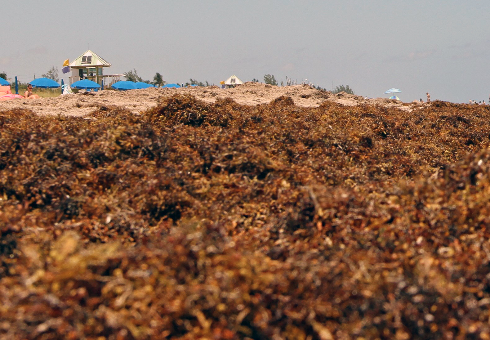 Sargassum on Delray Beach in South Florida in May 2019. Credit: Brian Cousin, Florida Atlantic University's Harbor Branch Oceanographic Institute