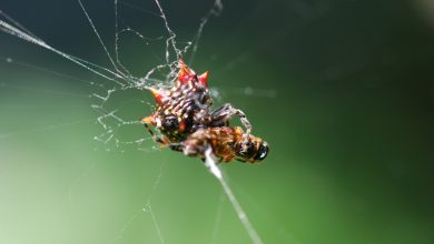 Photo of Researchers discover first case of a vertically transmitted virus in spiders