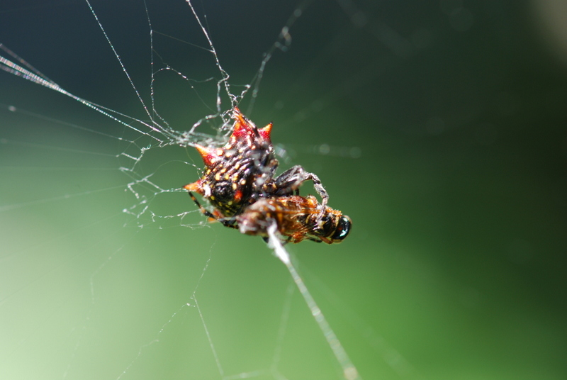 A spinybacked orbweaver approaches a bee ensnarled in its web. Photo Credit: Mya Breitbart