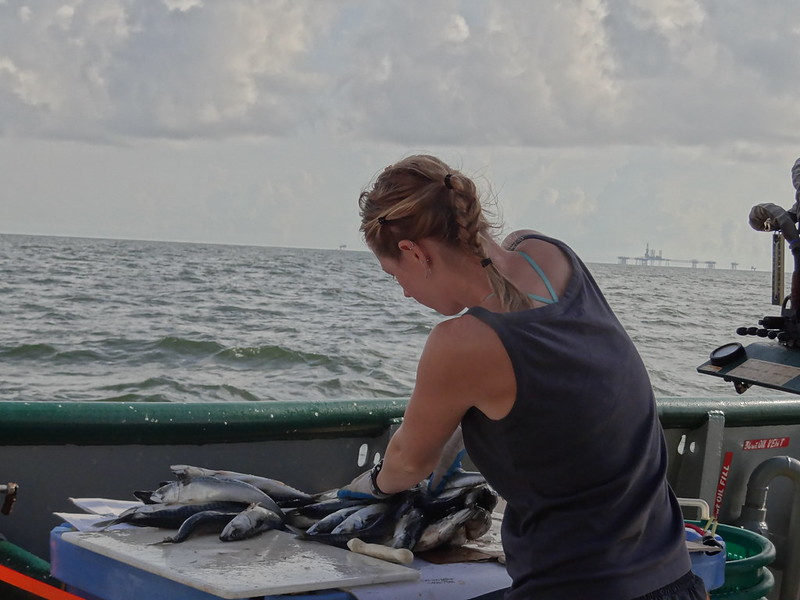 4. Next the team thaws and cuts bait. (Shown here is Dr. Elizabeth Herdter) On this survey, the team used Atlantic Mackerel and Humboldt squid wings.