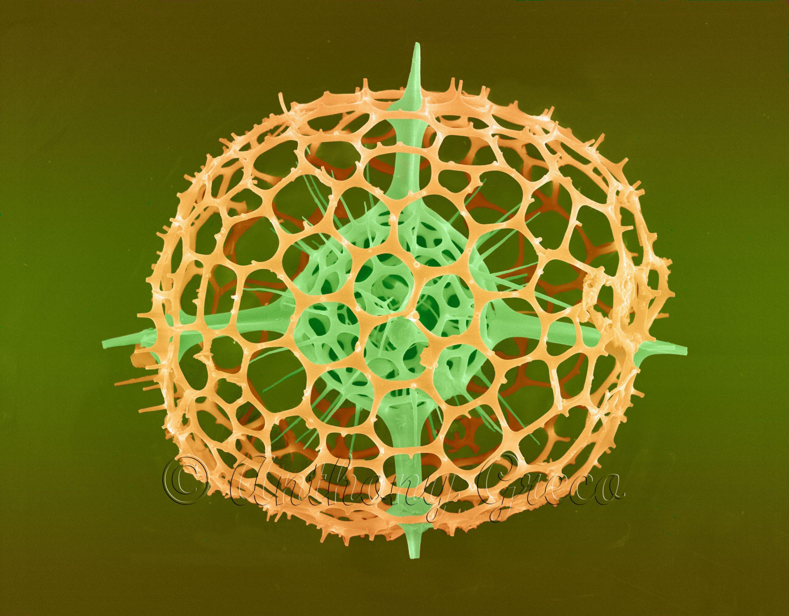 Radiolarian