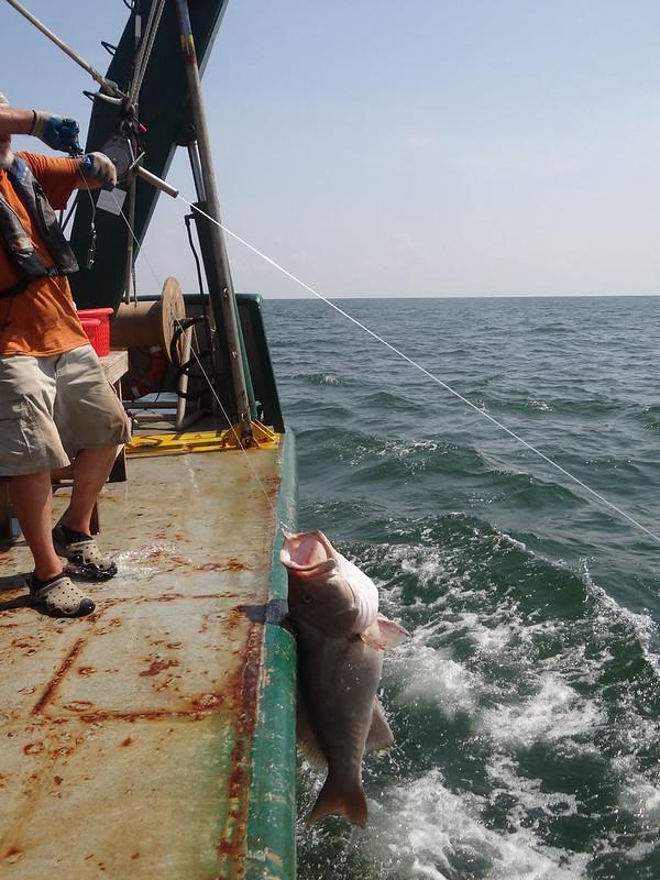 6e. Fish on!!  Dr.  Steve Murawski pulls up a grouper for sampling.
