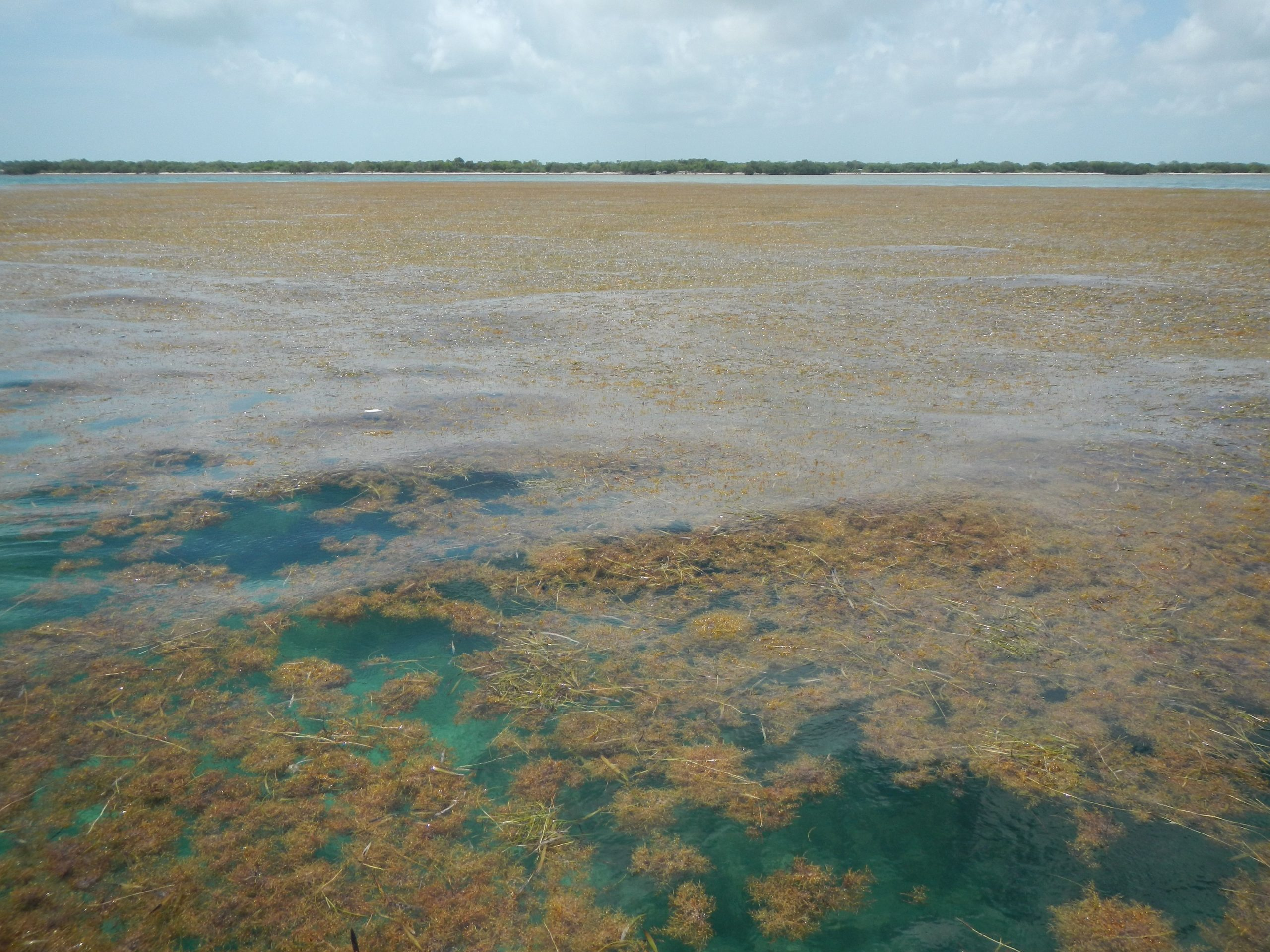 Sargassum piles up around Munson Island, Florida Keys. Credit: Brian Lapointe